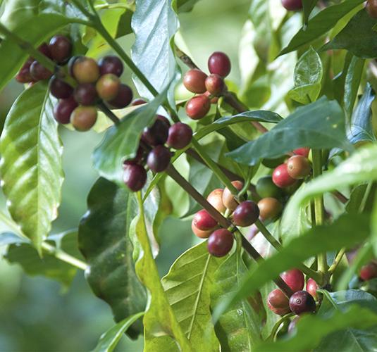 Planta café - Waycup